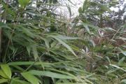 bamboe5