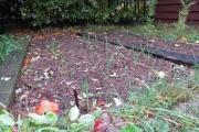 Knoflook in de moestuin - in september gepoot