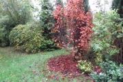 Rode esdoorn verliest zijn bladeren
