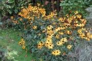 De rudbeckia bloeit ook nog