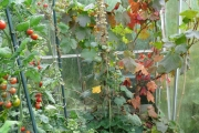 Verkleurend druivenblad in de kas