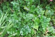 Acanthus mollis 'Oak Leaf'