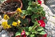De begonia's van Roel