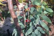 Nieuwe scheuten bij de Eucalyptus Debeuzevillei
