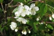 Pruimenbloesem (fruitboom van Dagmar & René)