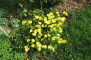 Doronicum (eigen kweek) in bloei