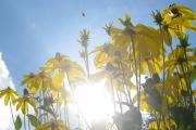 Bijen houden ook van de Rudbekcia