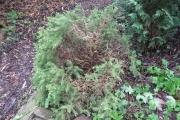 Dwergspar (Picea glauca 'Conica')