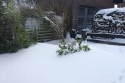 De rhododendron bijna onder de sneeuw verdwenen