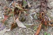 Duizendknoop - Persicaria amplexicaulis