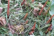 Miscanthus Sinensis Floridulus