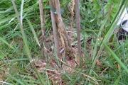 Blauwe regen - Wysteria (aan de voet)