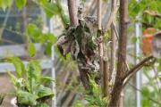 Vlinderstruik - Buddlea