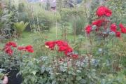 Rozen bij het terras (Red Princess)