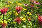 Monarda, Rudbeckia en Echinacea in de nieuwe zomerborder