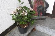 Sneeuwbal Viburnum tinus Gwenllian