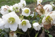 De winter is Helleborus-tijd