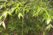 Phyllostachys Nigra: geen vorstschade