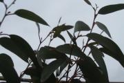 Eucalyptus Debeuzevillei