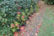 Pelargonium in 2016 gestekt tegen een achtergrond van hedera