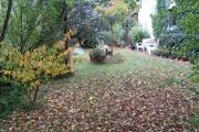 Afgevallen bladeren van de kwets (Prunus domestica ssp. domestica) met links de verkleurende toverhazelaar (Hamamelis)