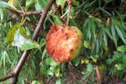 Aangevreten vrucht van de Schone van Boskoop appel