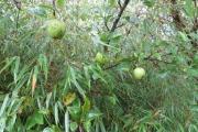 Vrucht van de Schone van Boskoop appel