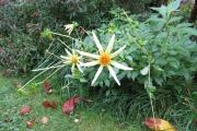 De laatste dahlia bloemen (Honka geel)