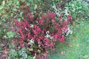 De winterheide (Erica darleyensis) - cadeau van Christel - bloeit
