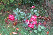 De roos van ome Roel
