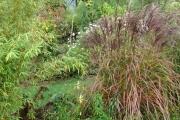 Bloeiende siergras (miscanthus sinensis malepartes)