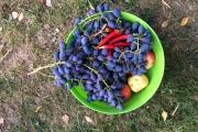 Veel druiven , pepers en appels uit eigen tuin