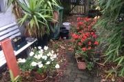 Pelargonium en fuchsia gaan naar binnen