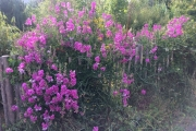 Uitbundig bloeiende siererwt aan de Sonneseite