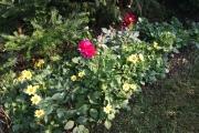 De dahlia's van Roel in bloei