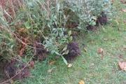 De chocoladebloemplanten zijn eruit