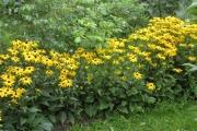 Het Rudbeckia-plantsoen