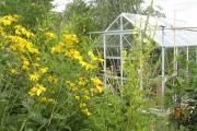 Rudbekcia nitida 'Herbstsonne'