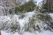 Fargesia's strijken de zeilen onder een vracht sneeuw