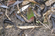 Keizerskroon prikt uit de grond