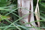 Eucalyptus Debeuzevillei (aan de voet)