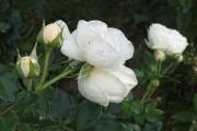 Roos van Lilli