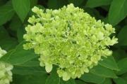 Hortensia Paniculata 'Limelight'
