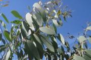 Eucalyptus bij het terras (Debeuzevillei)
