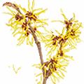 Deze maand bloeit: Toverhazelaar