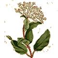 Deze maand bloeit: Viburnum