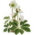 Deze maand bloeit: Helleborus