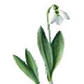 Deze maand bloeit: Sneeuwklokje