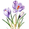 Deze maand bloeit: Krokus