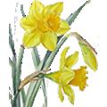 Deze maand bloeit: Narcis